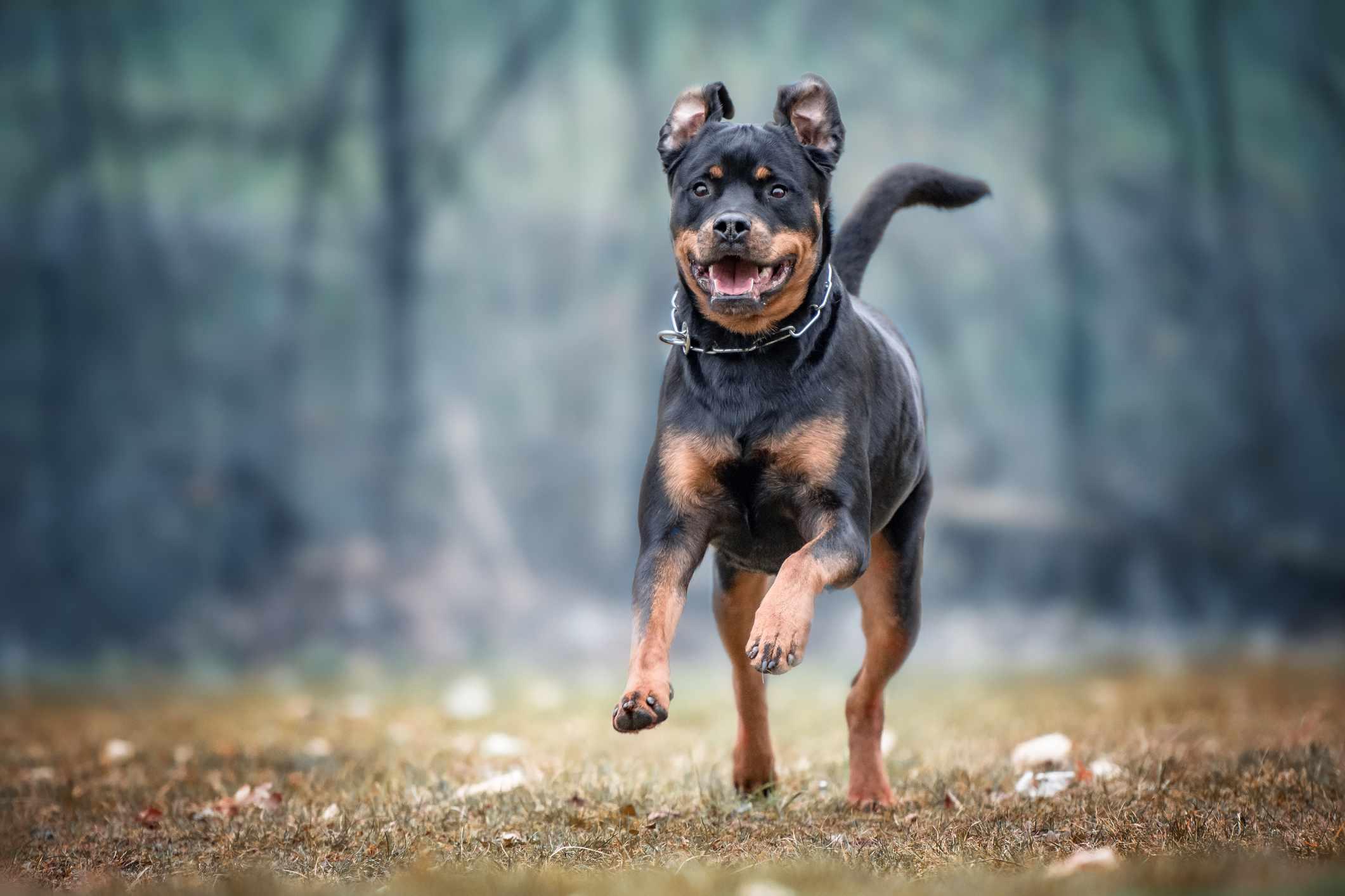 Rottweiler Running On Field