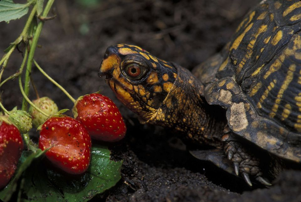 An eastern box turtle eating strawberries