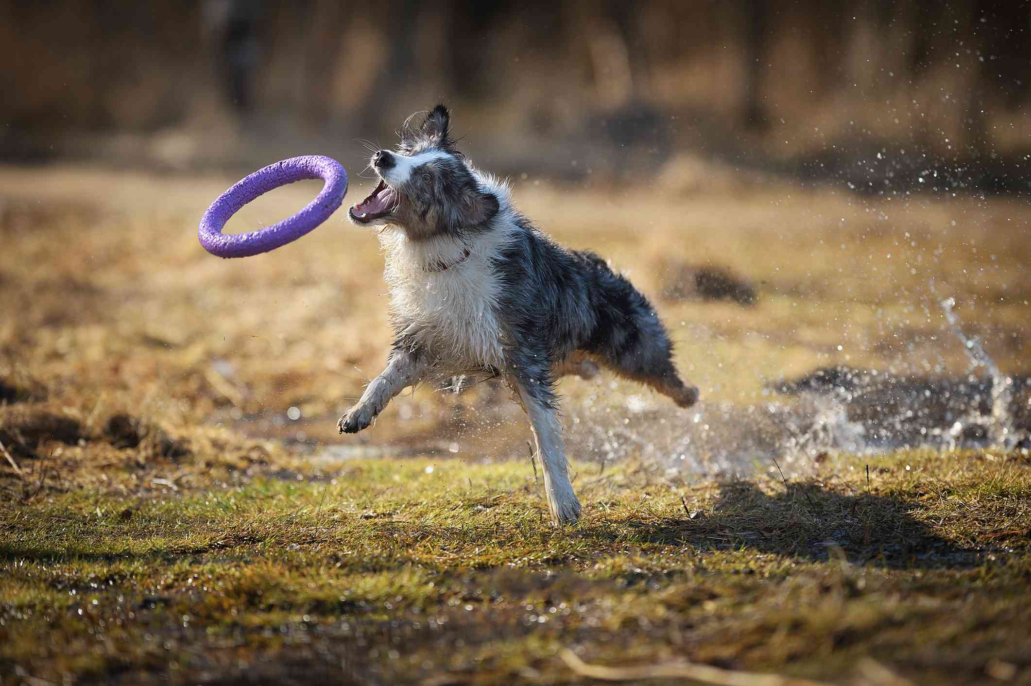 An Australian shepherd jumping and catching a ring toy in its mouth.