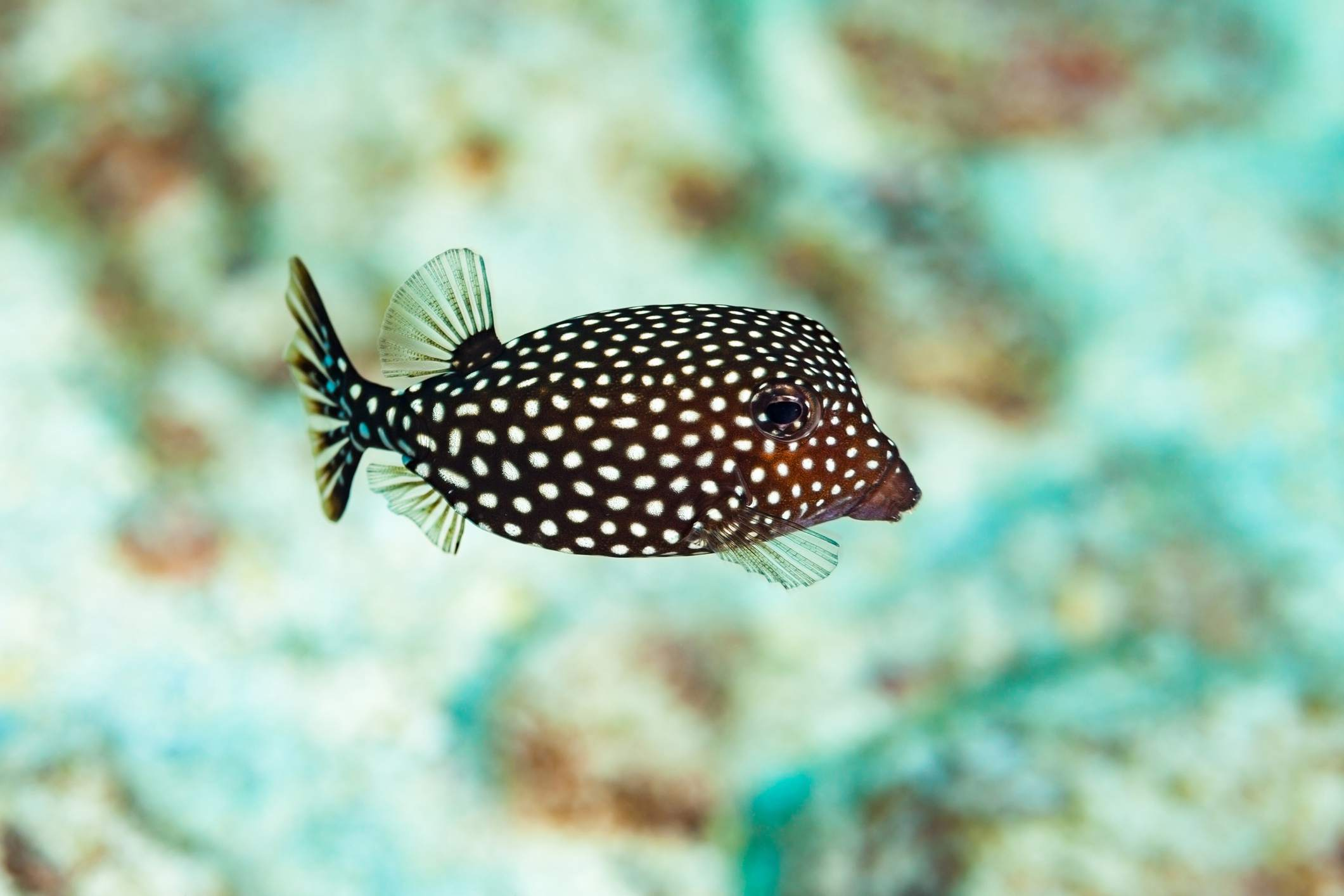 Female Spotted Boxfish (Ostracion Meleagris)
