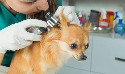 Chihuahua getting an ear exam.