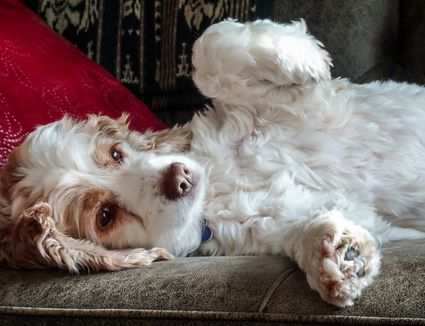 dog laying on couch