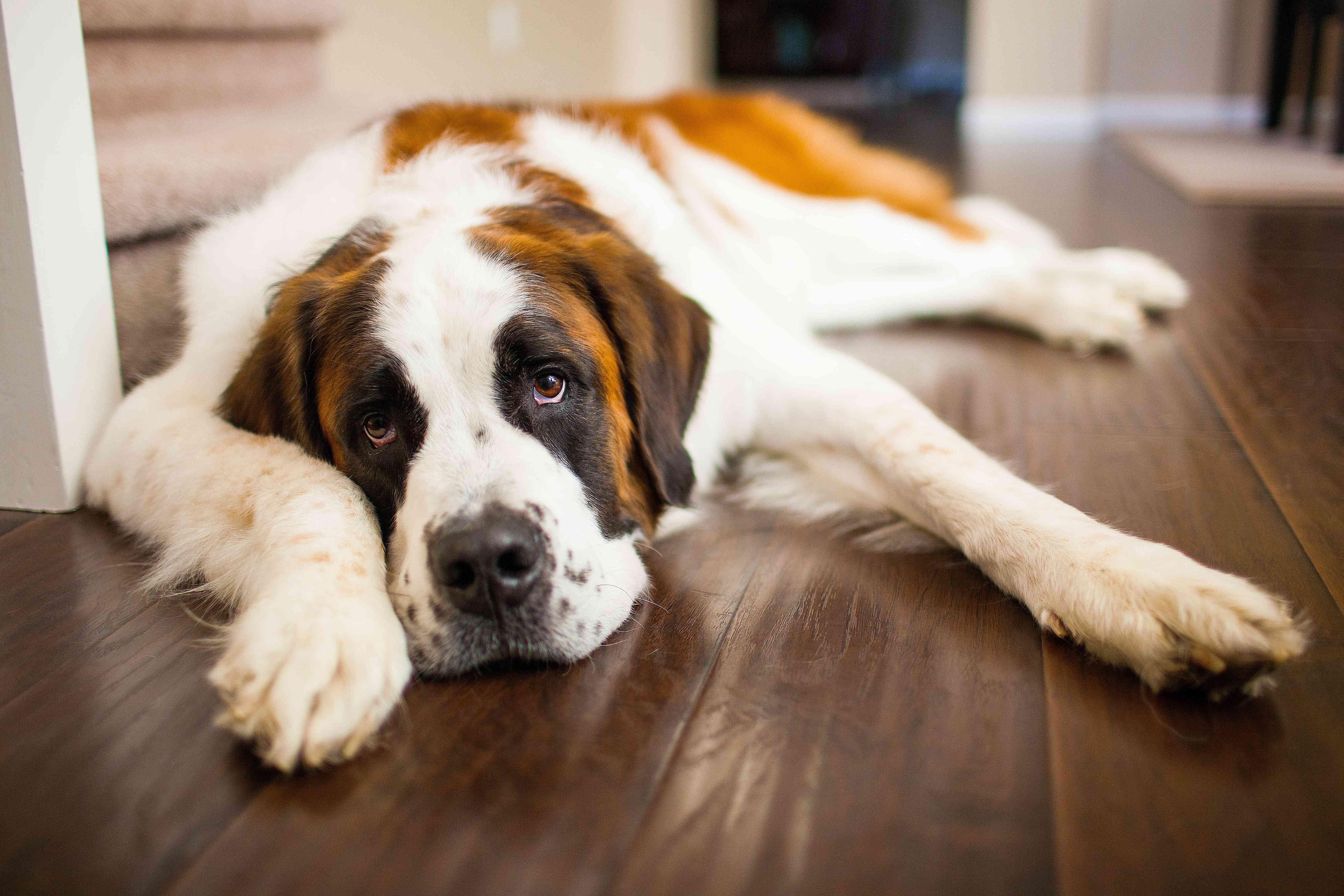 San Bernardo perro de raza grande tendido en el piso de madera en casa