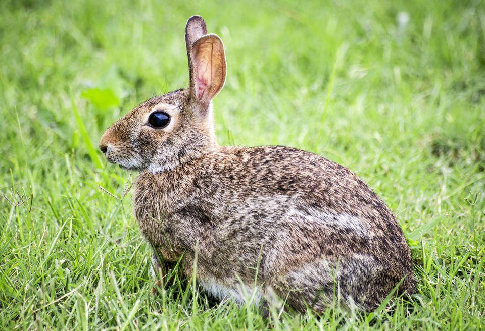 Conejo salvaje