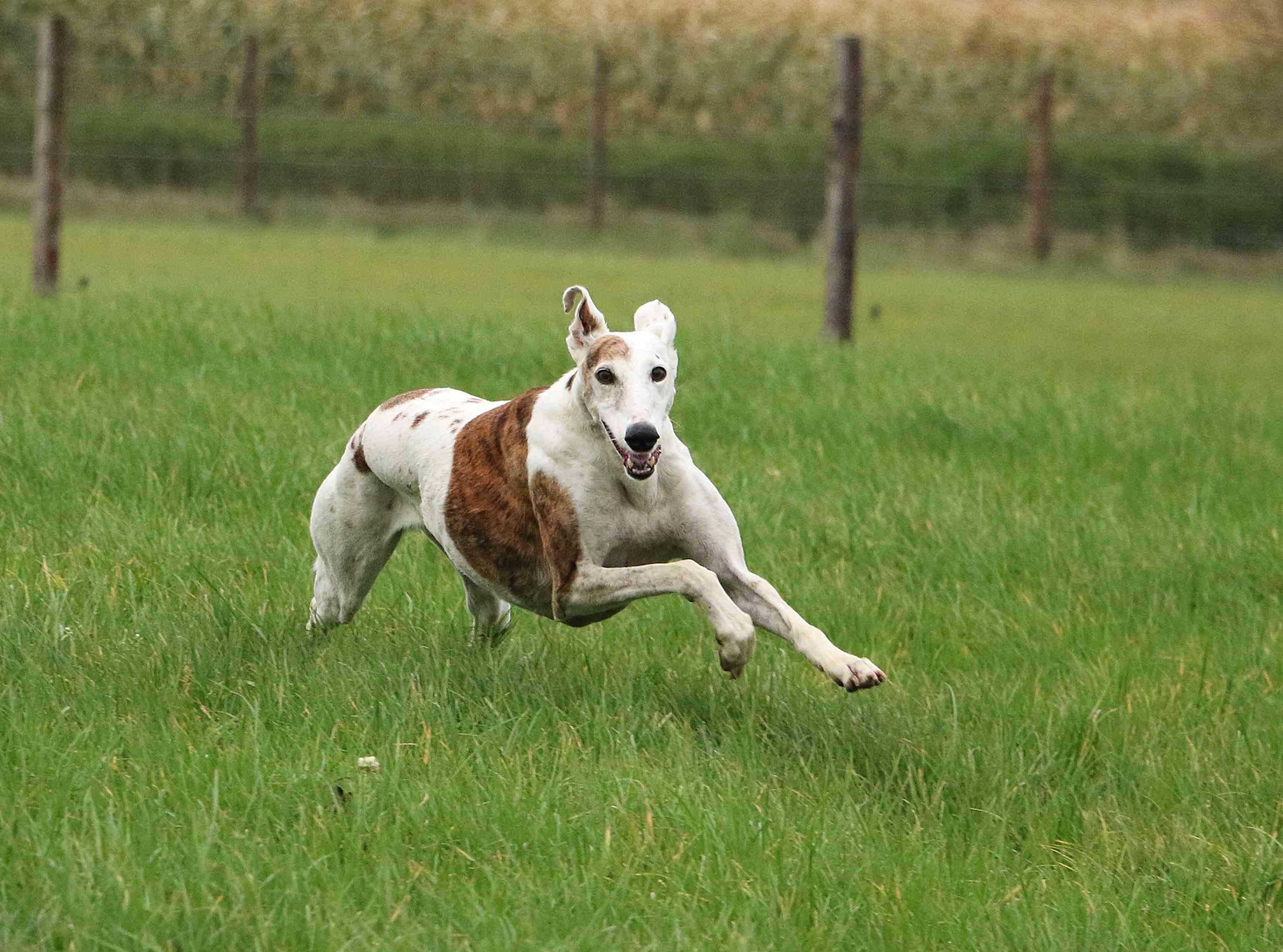 Greyhound running in grassy field
