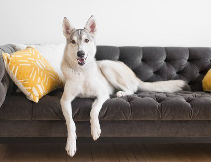 dog hanging on the couch