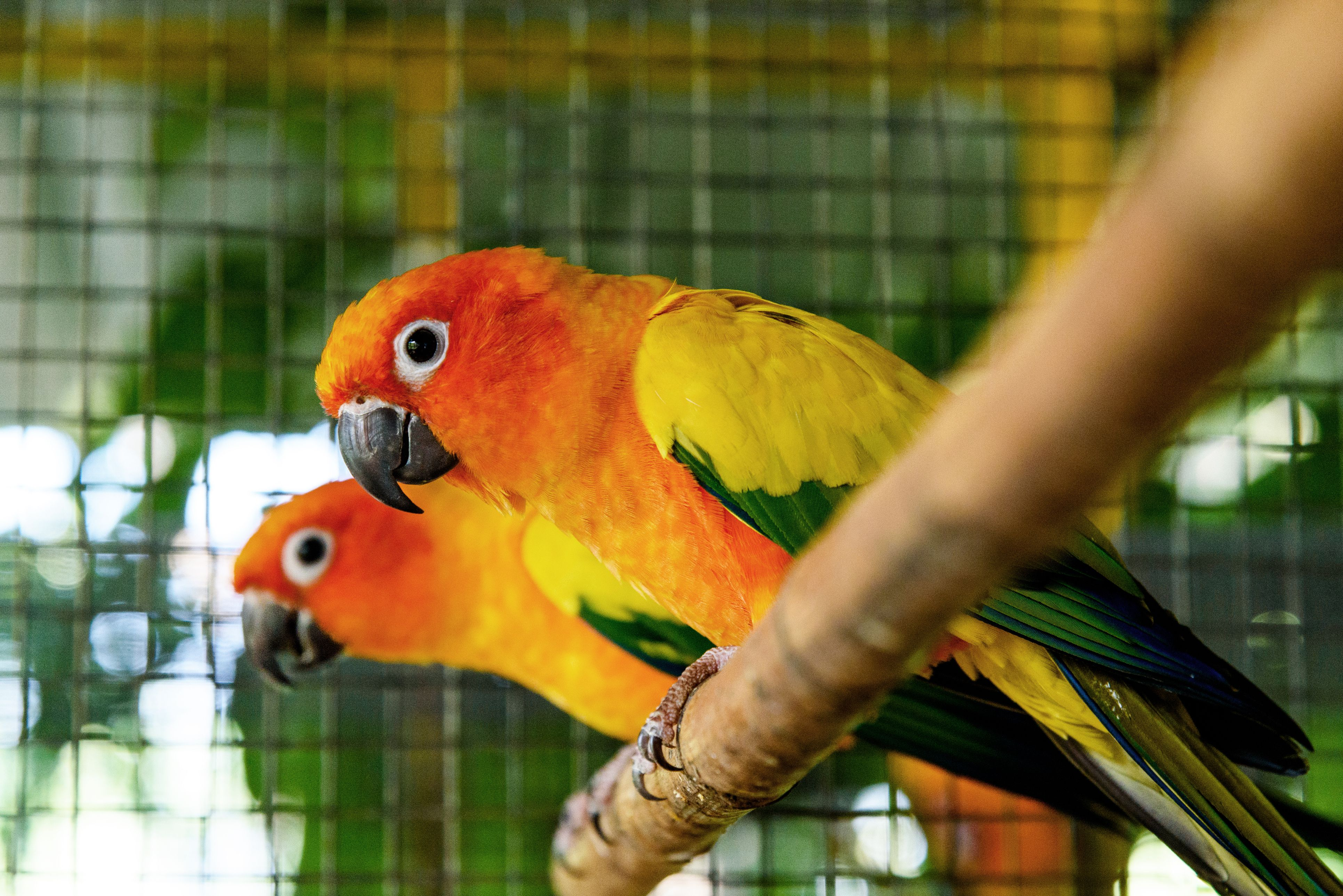 Close-Up Of a pair of Sun Conure parrots Perching On Branch In Birdcage