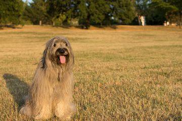 Catalan Sheepdog sitting in a field