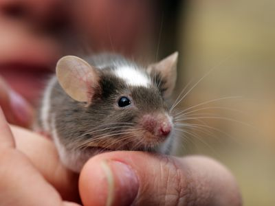 Breeding Data and Gestation Period for Fancy Mice