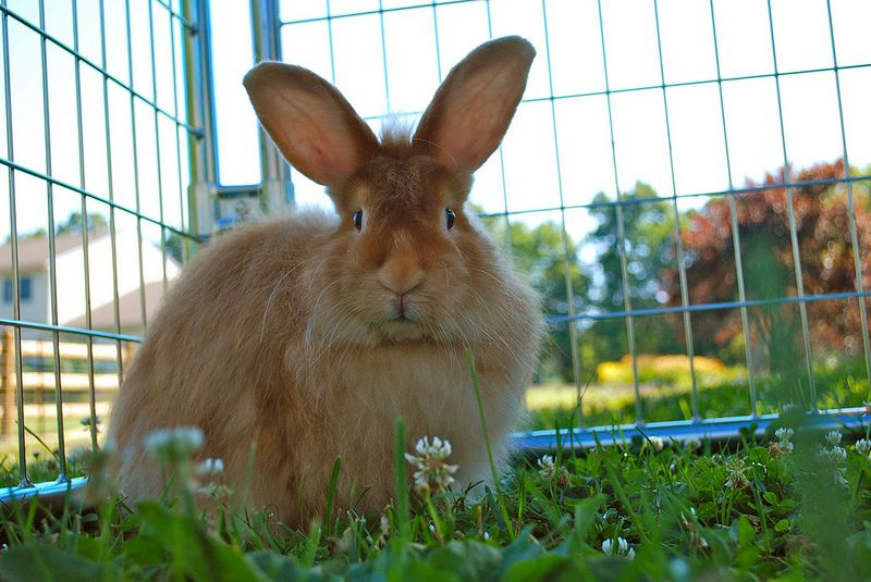 Brown satin angora rabbit sitting in grass inside a cage.