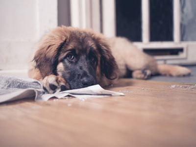 Reasons Why Dogs Pee When Submissive Or Excited And How To Stop It