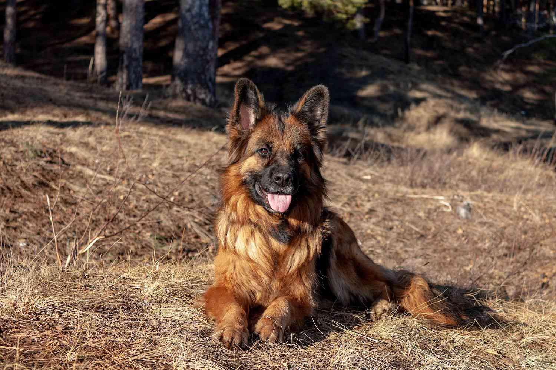 King Shepherd Dog