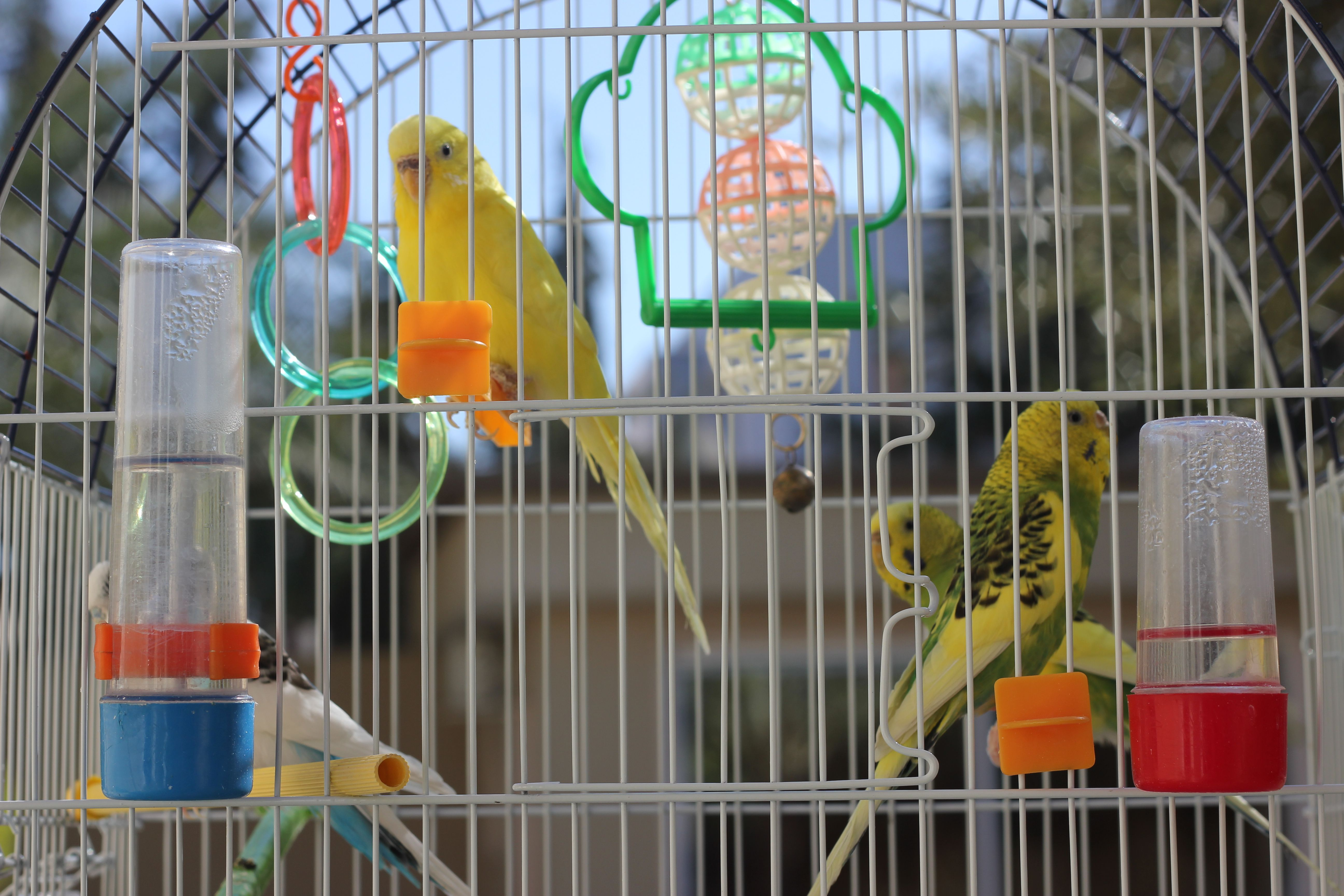Close-Up Of Parakeets In Cage