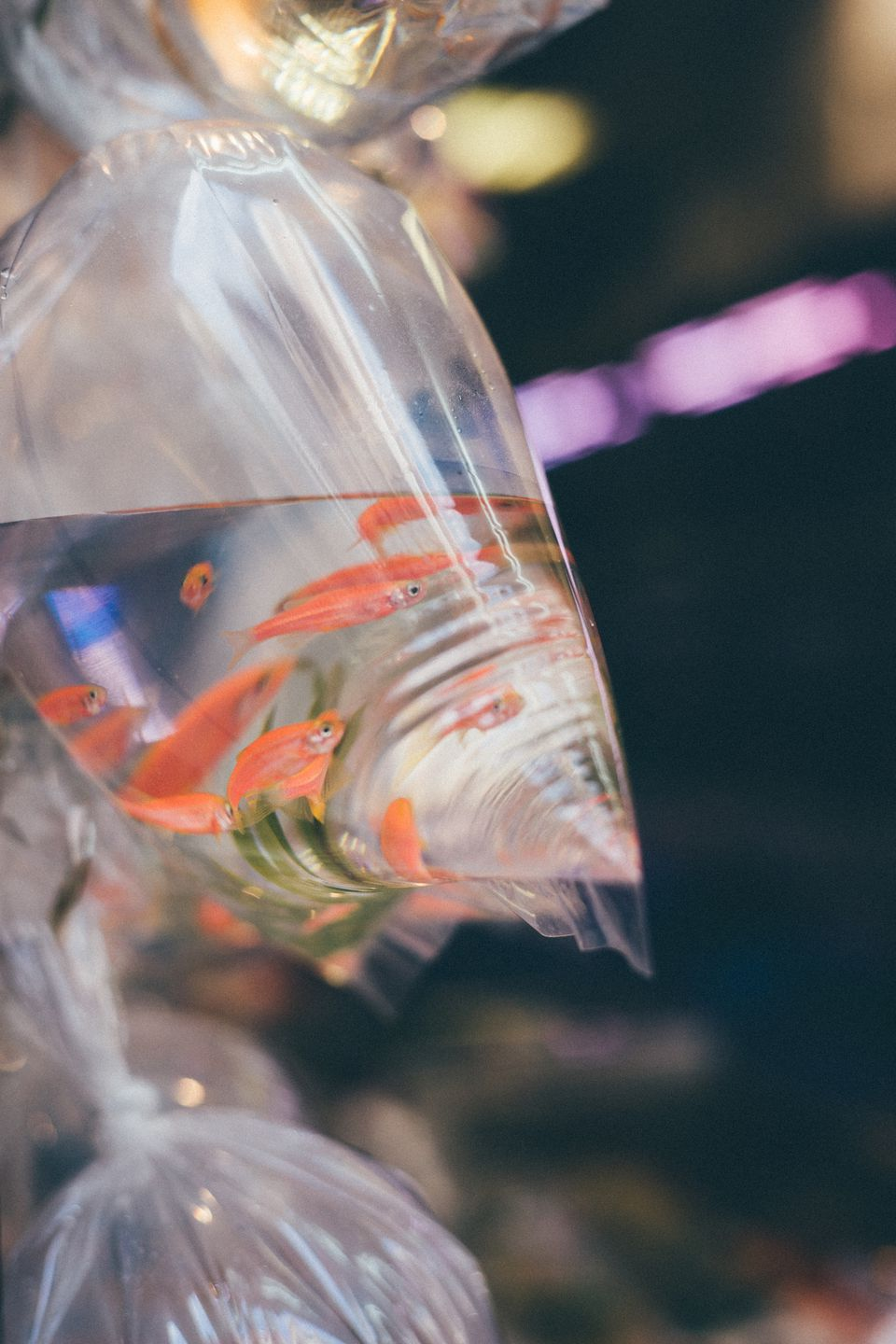 A set of goldfish in water, in a plastic bag