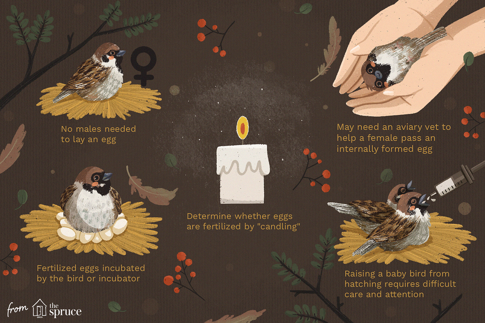 what to do when your bird lays an egg illustration