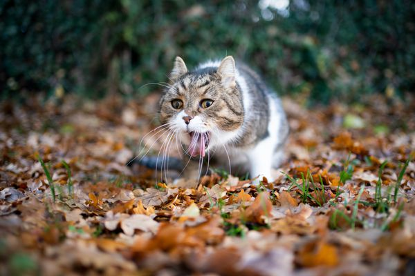 tabby white british shorthair cat outdoors in the garden throwing up puking on autumn leaves