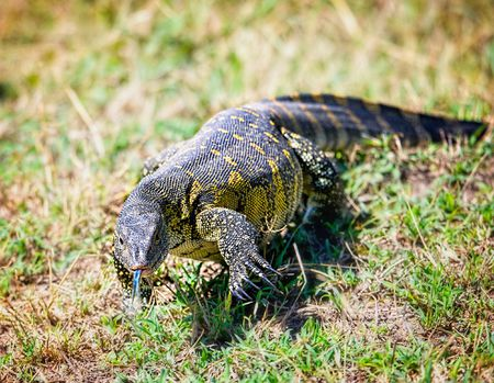 How to Care for Pet Nile Monitors