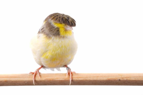 Gloster Canary on a perch
