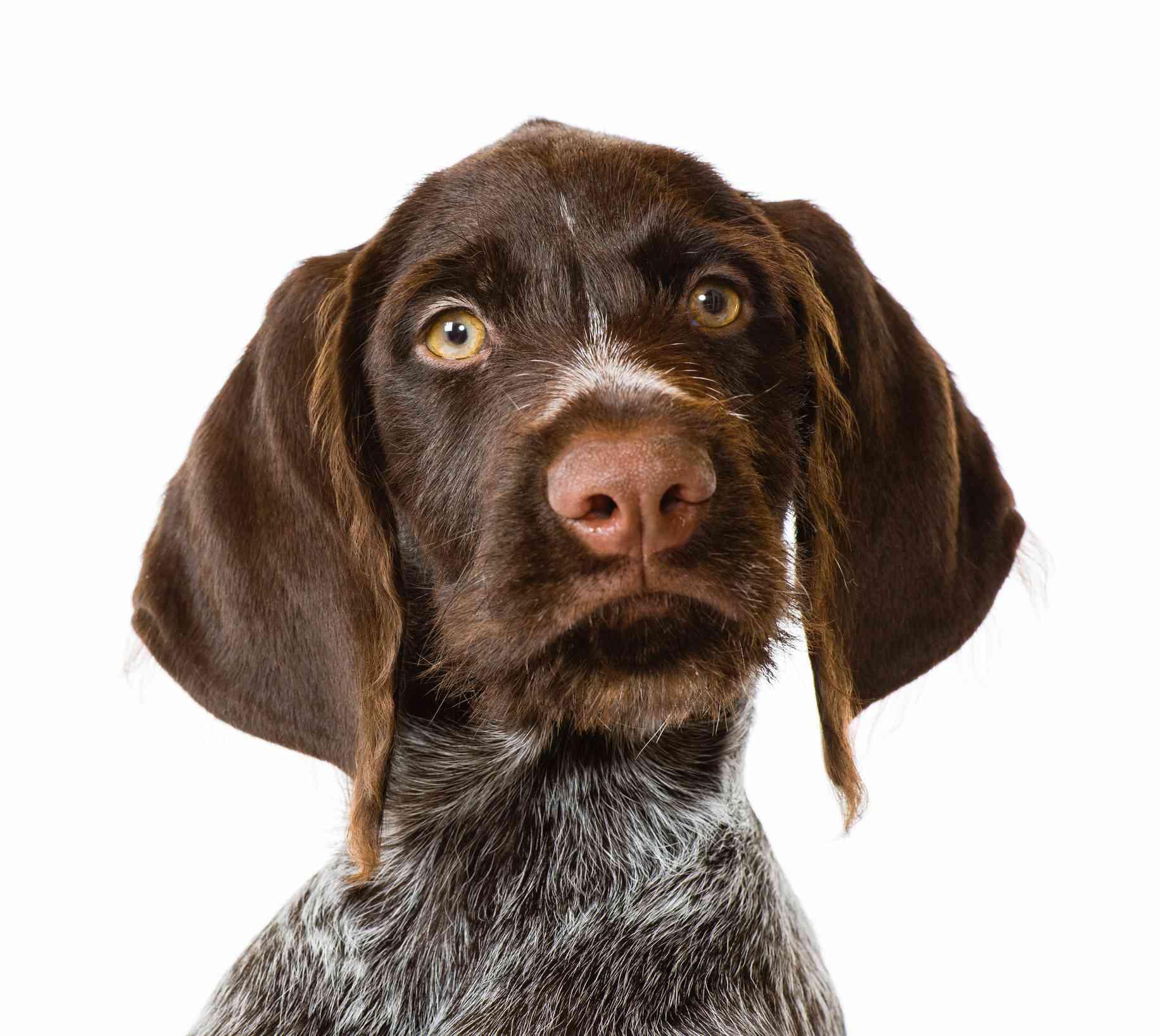 Puppy German Wirehaired Pointer