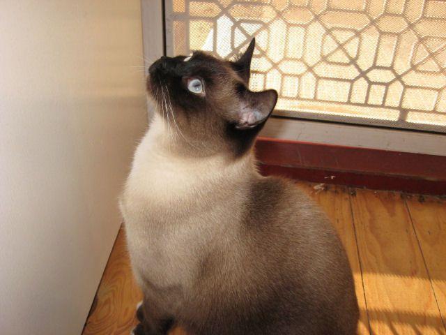 Photo of Siamese cat Mickey