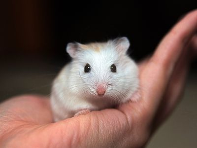 all about keeping hamsters as pets