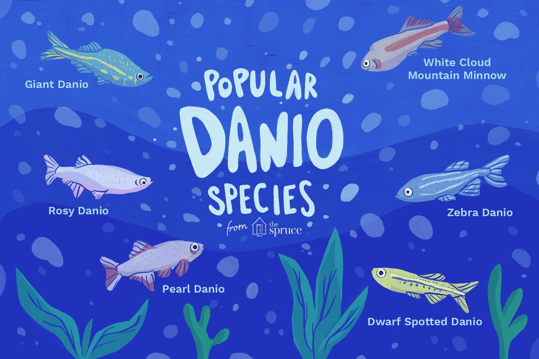 Illustration of popular Danio species