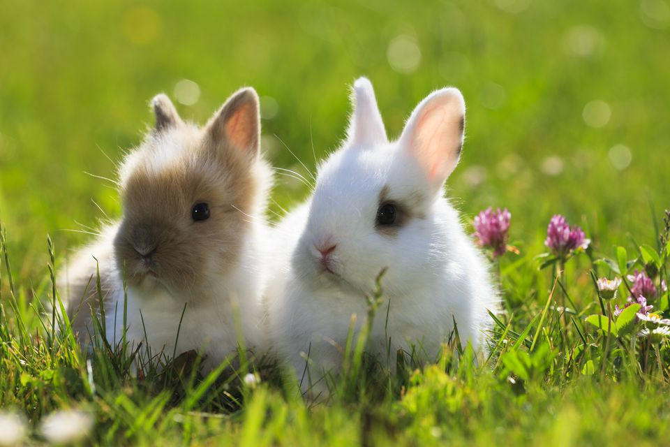 Young dwarf rabbits