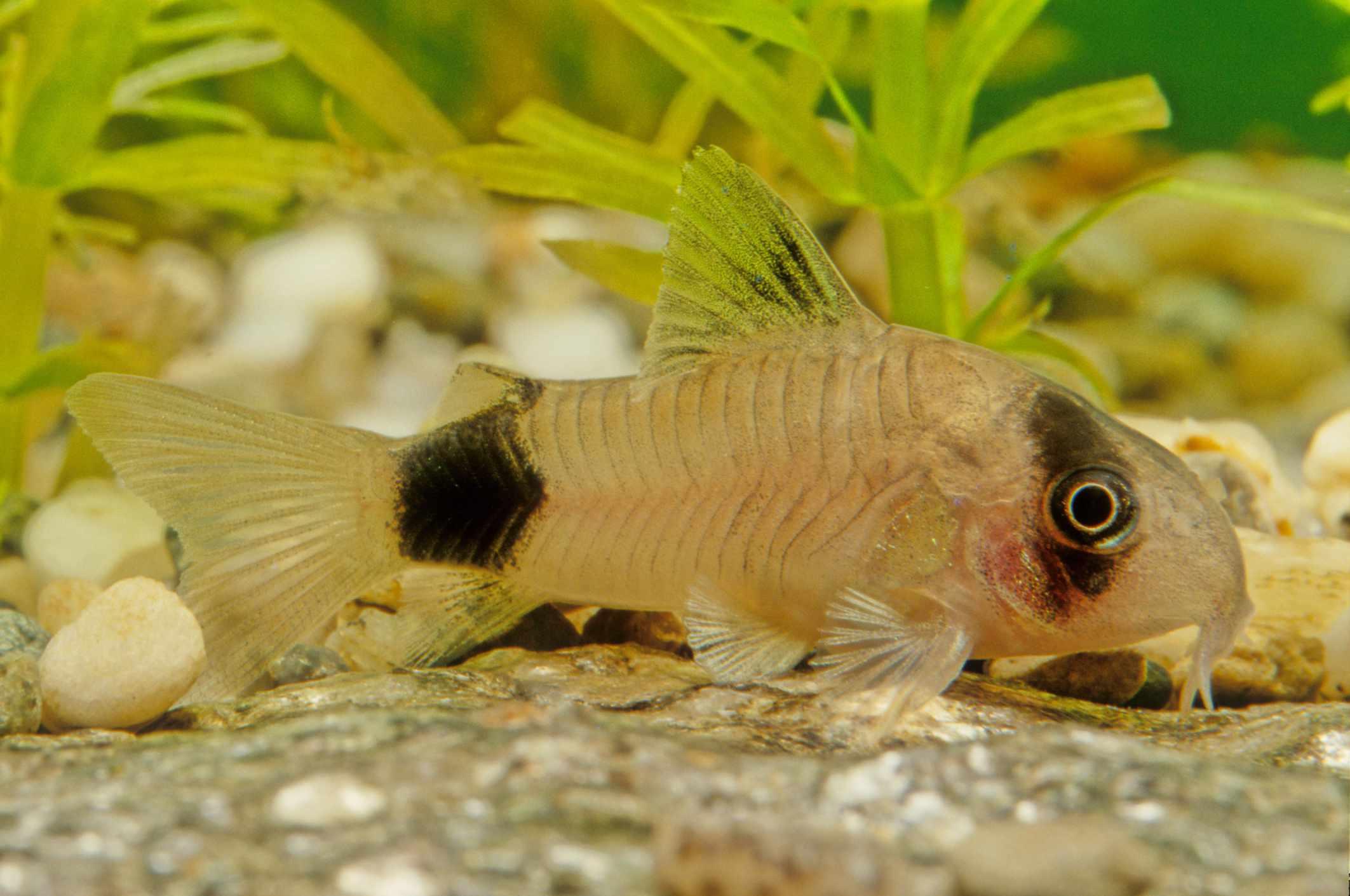 Panda cory dora fish
