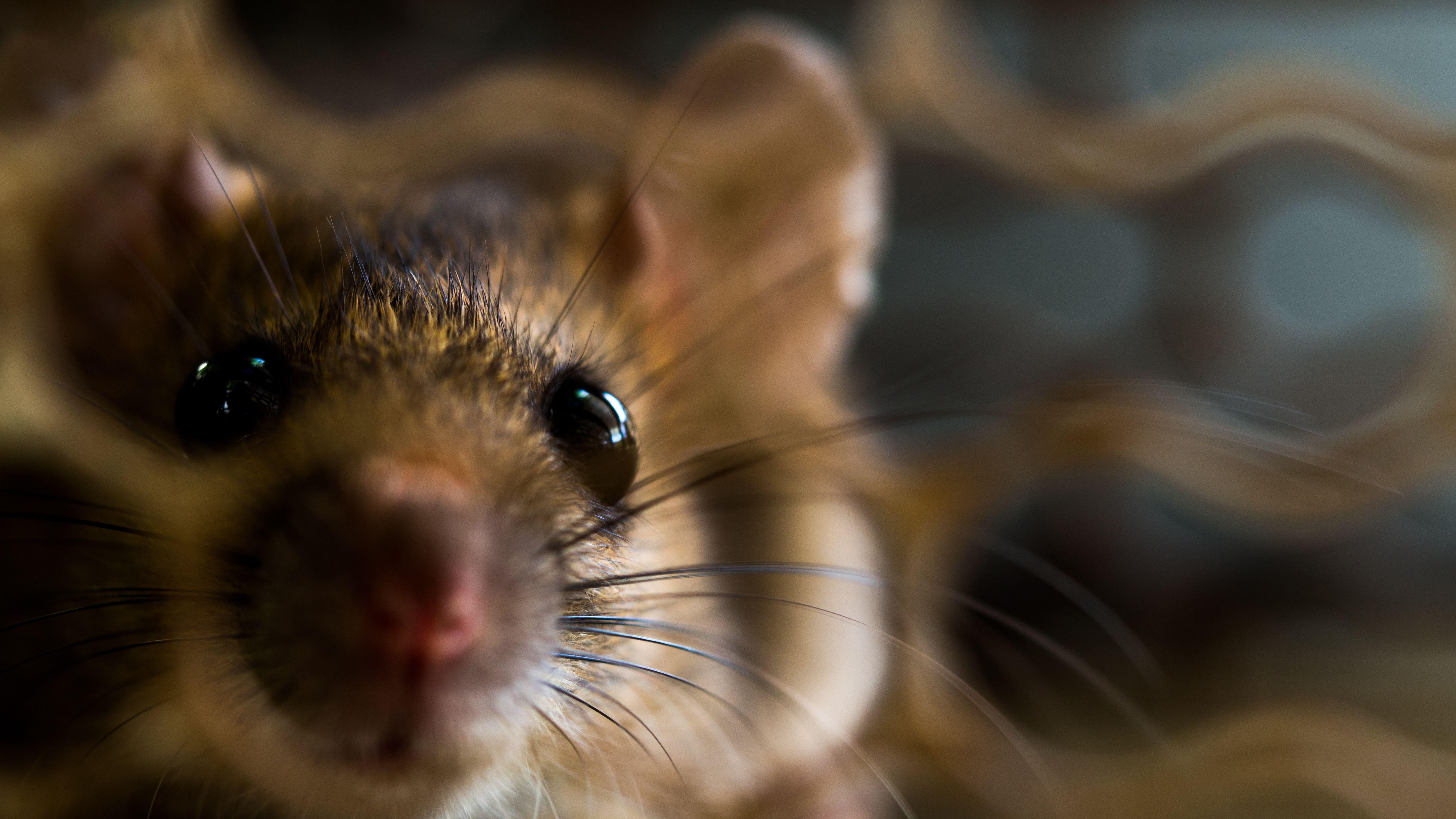 best rat exterminator