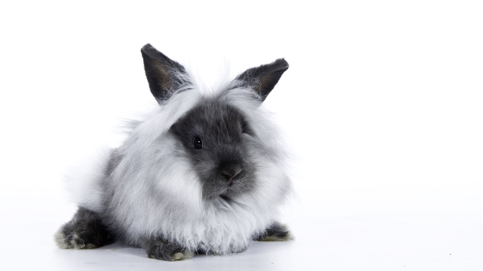 Keeping And Caring For Lionhead Rabbits As Pets