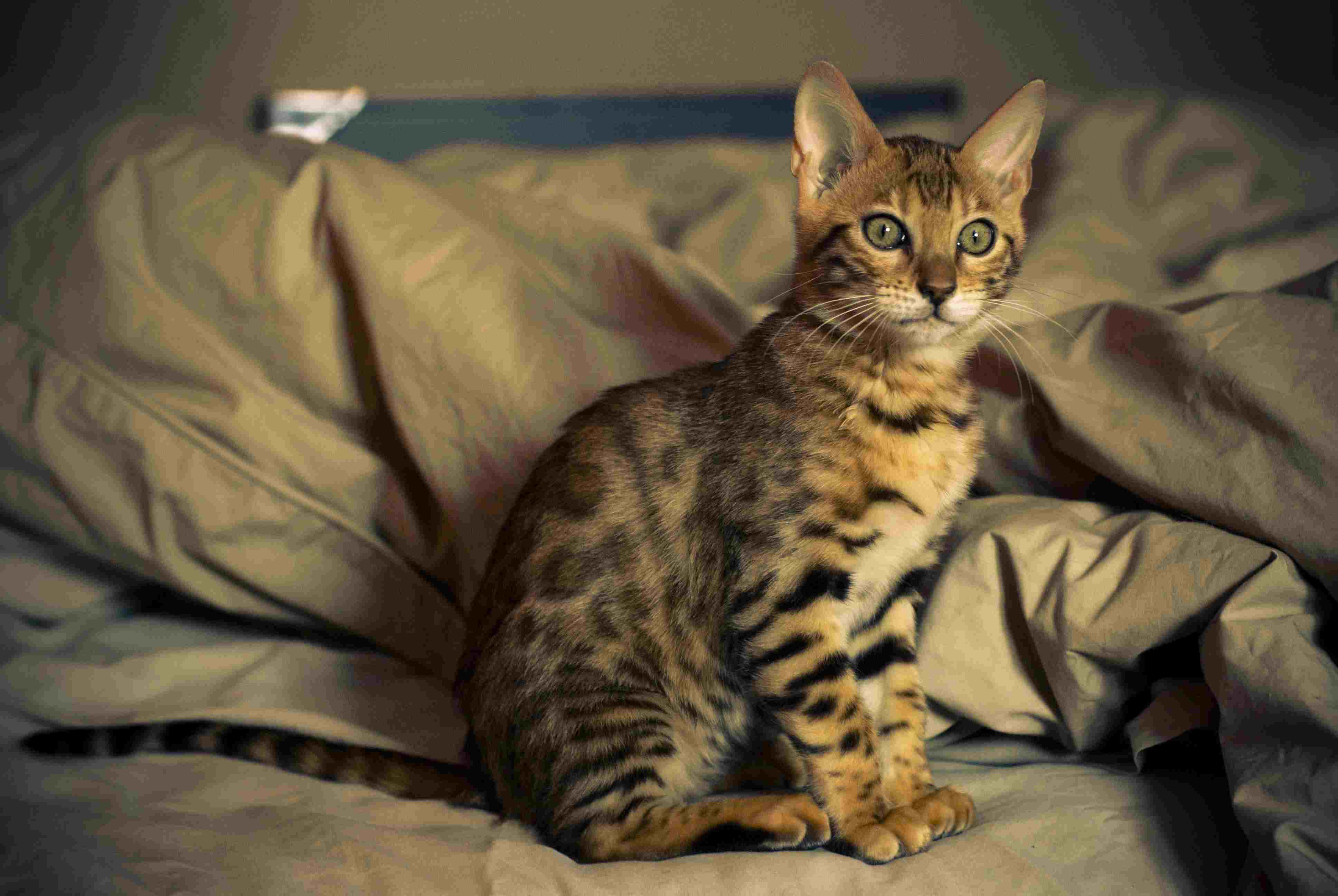 Bengal kitten sitting on a bed