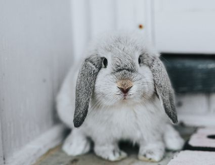 sick pet rabbit