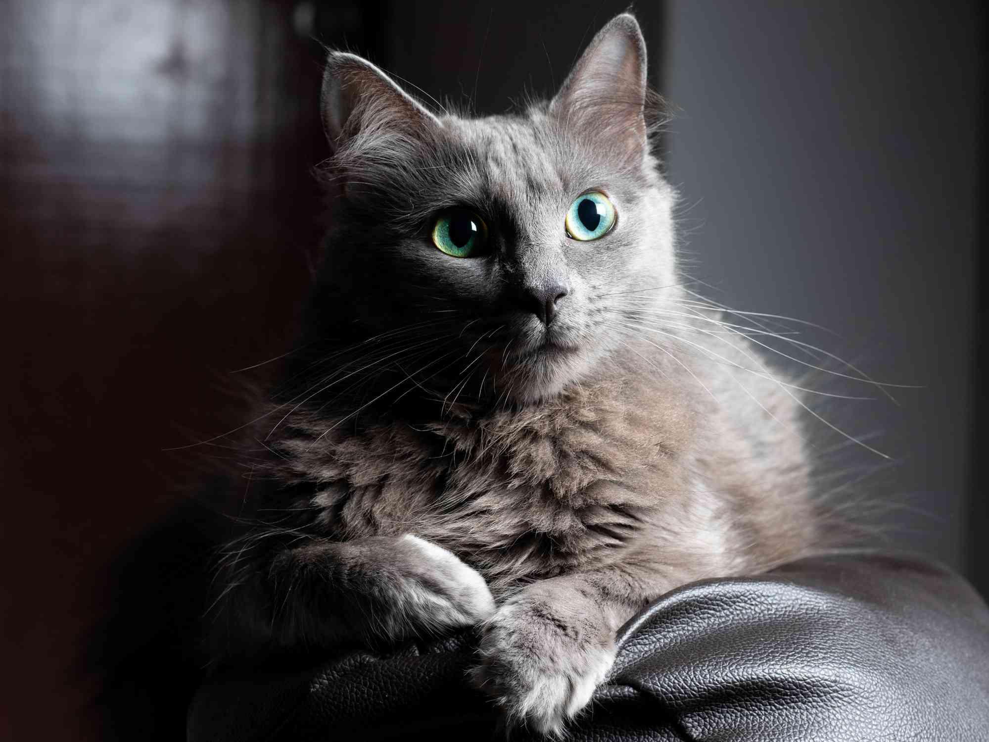 8 Blue Cat Breeds