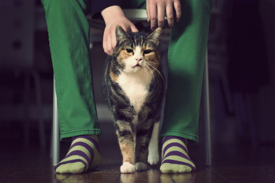 Tortie cat standing between a persons legs who is wearing green jeans