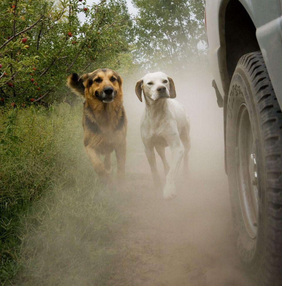 Perros persiguiendo un auto