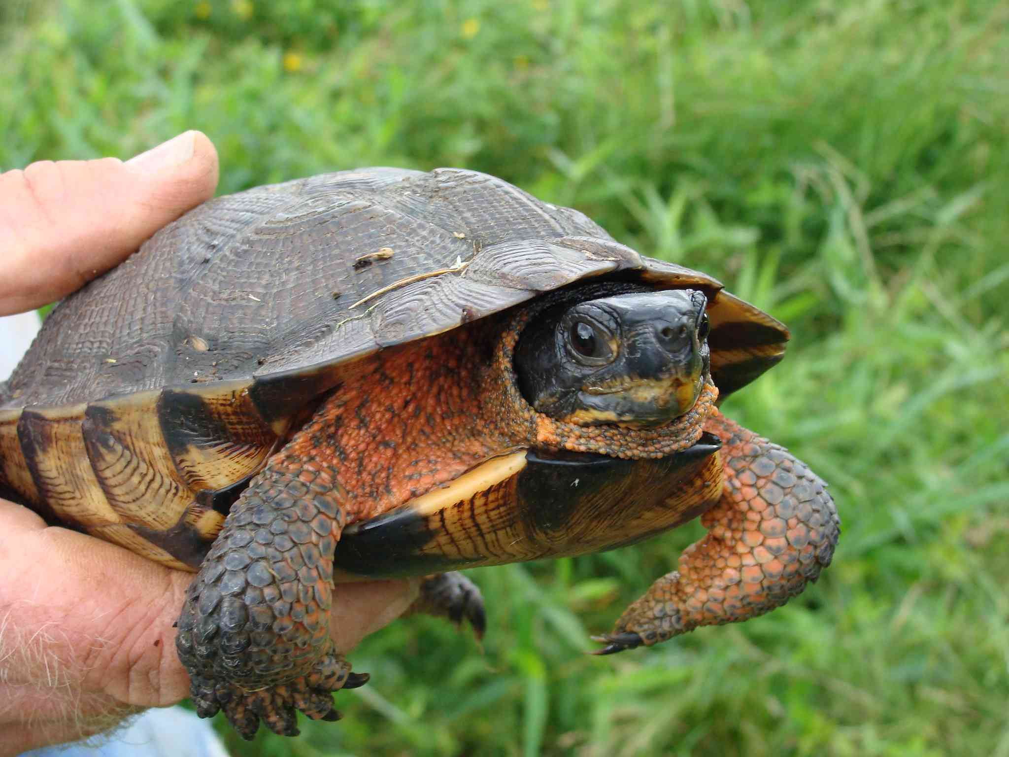 Wood Turtle being held above grass
