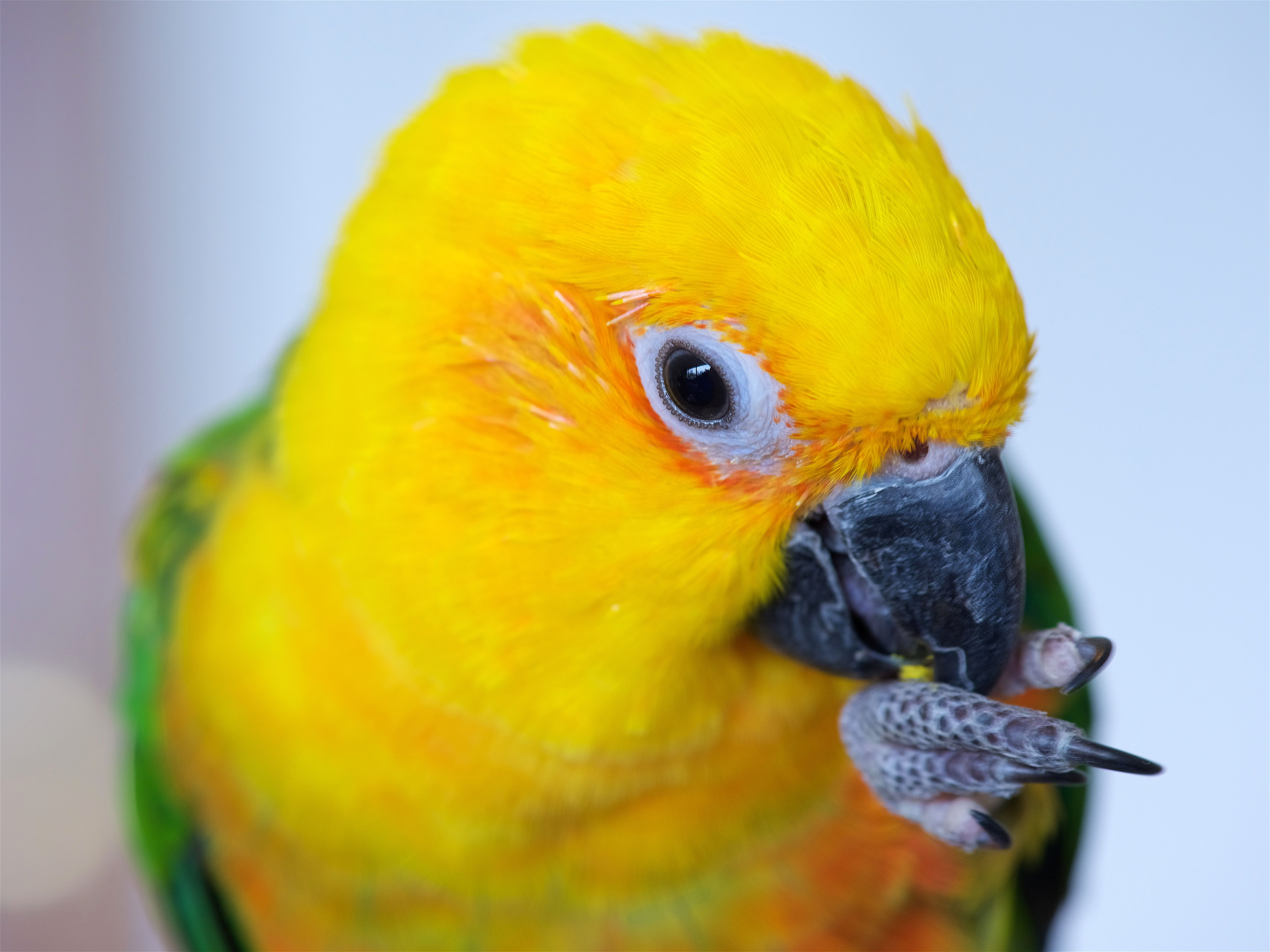 Jenday conure putting foot to beak