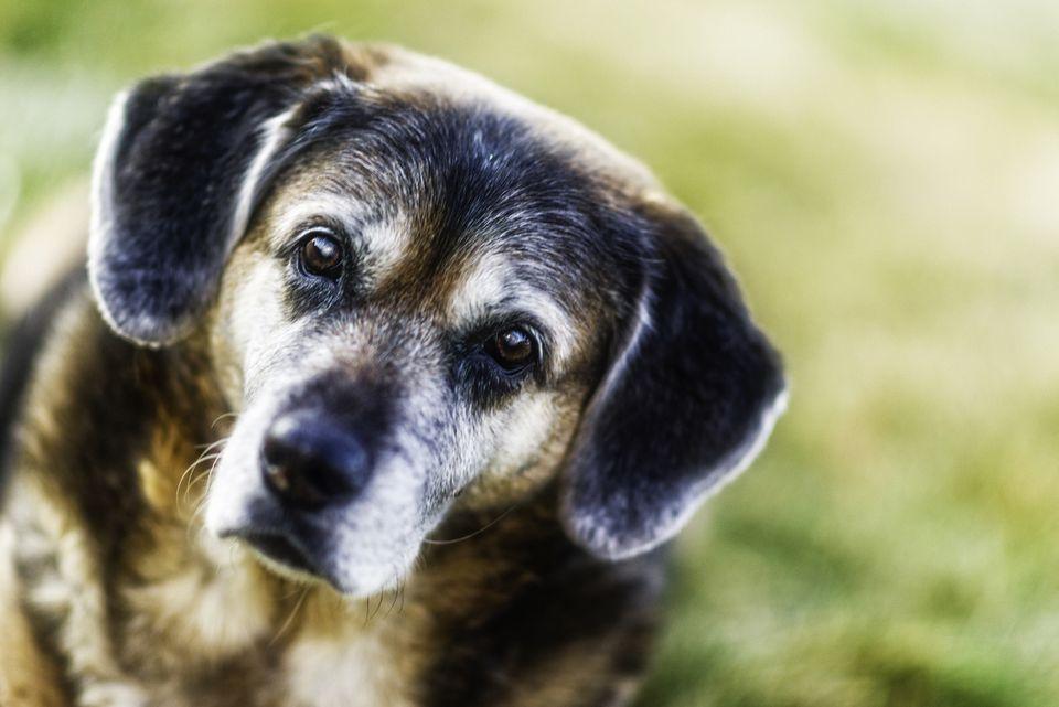 Elderly dog looking at camera
