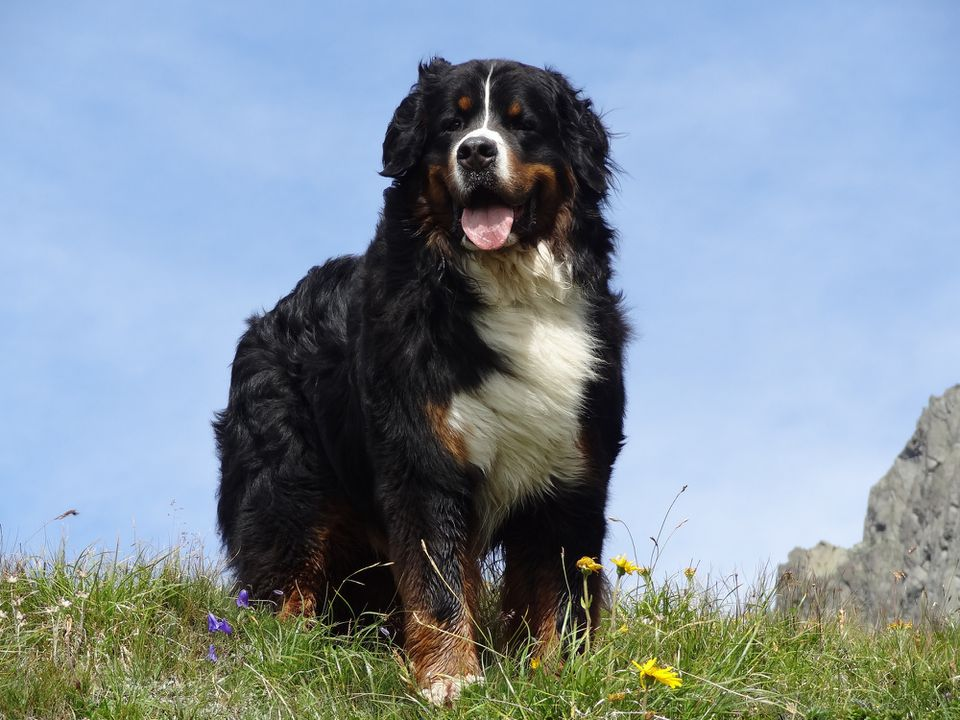 Bernese Mountain Dog standing in a meadow