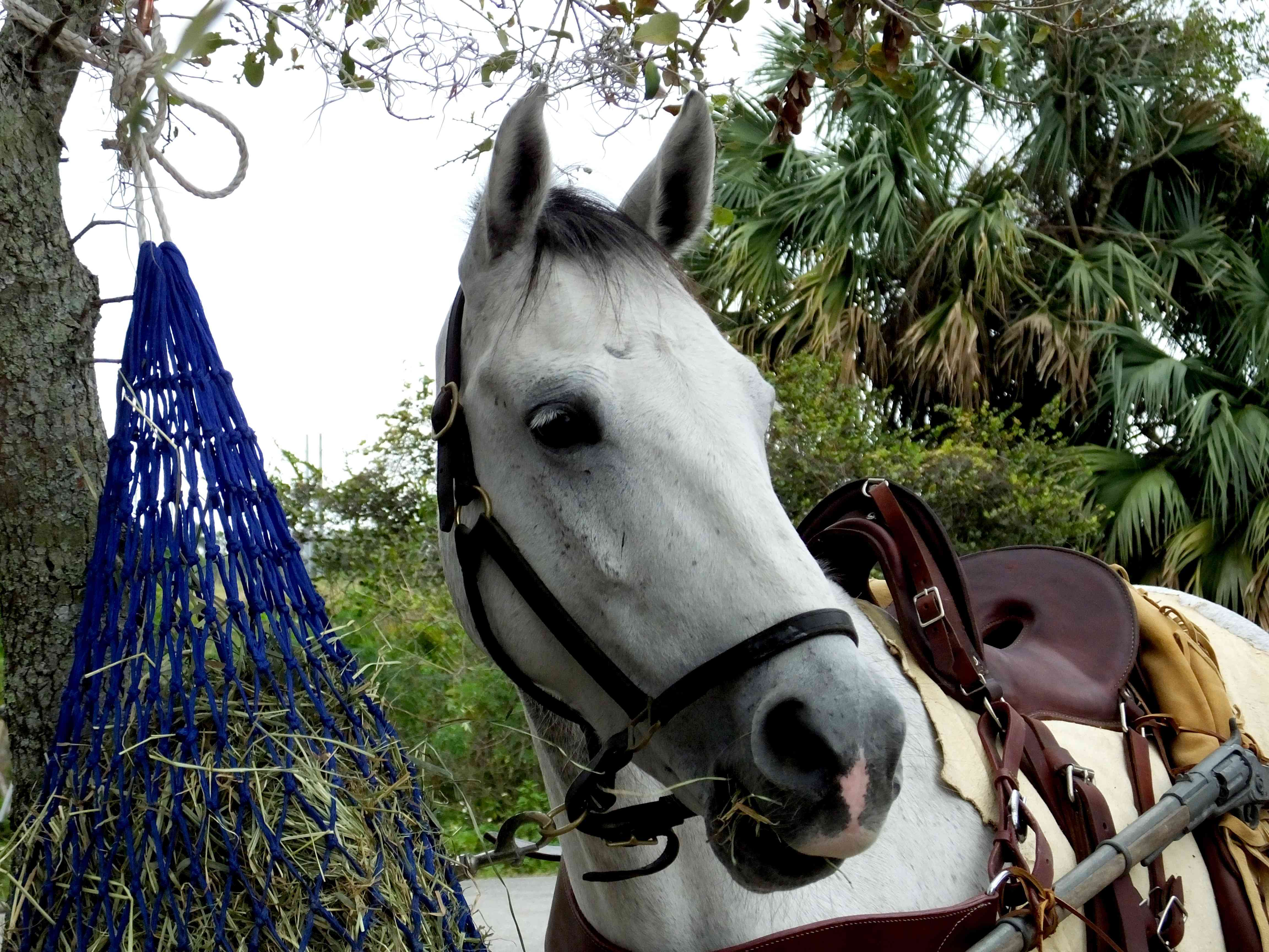 Grey Florida Cracker Horse eating from a hay net.