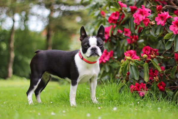 Boston terrier dog standing near pink rhododendron