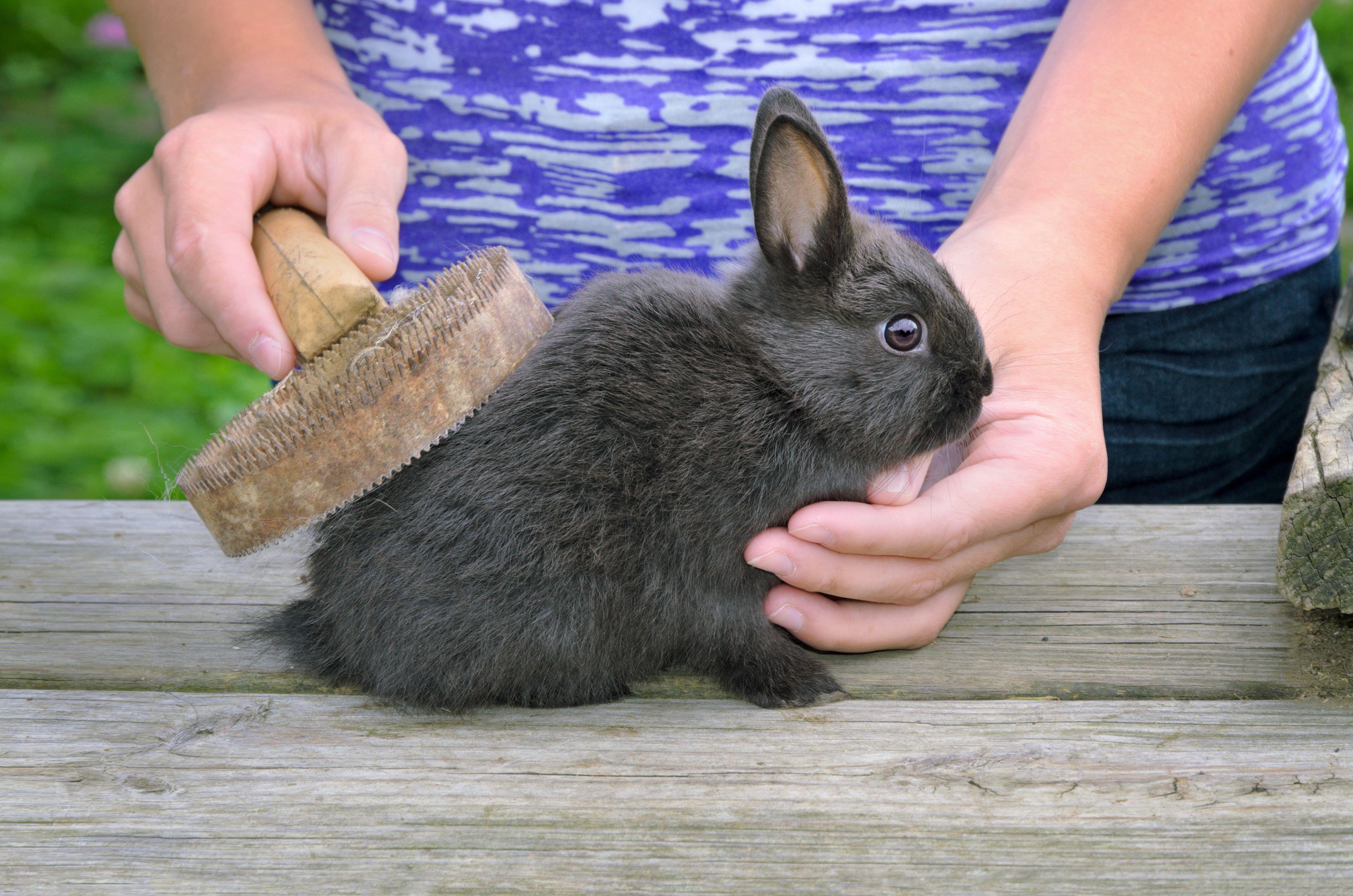 Rabbit Grooming Grooming Pet Rabbits