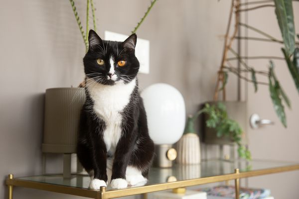 Black and white cat sitting on edge of glass top with decor items and houseplants
