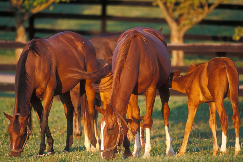 Broodmares and foals