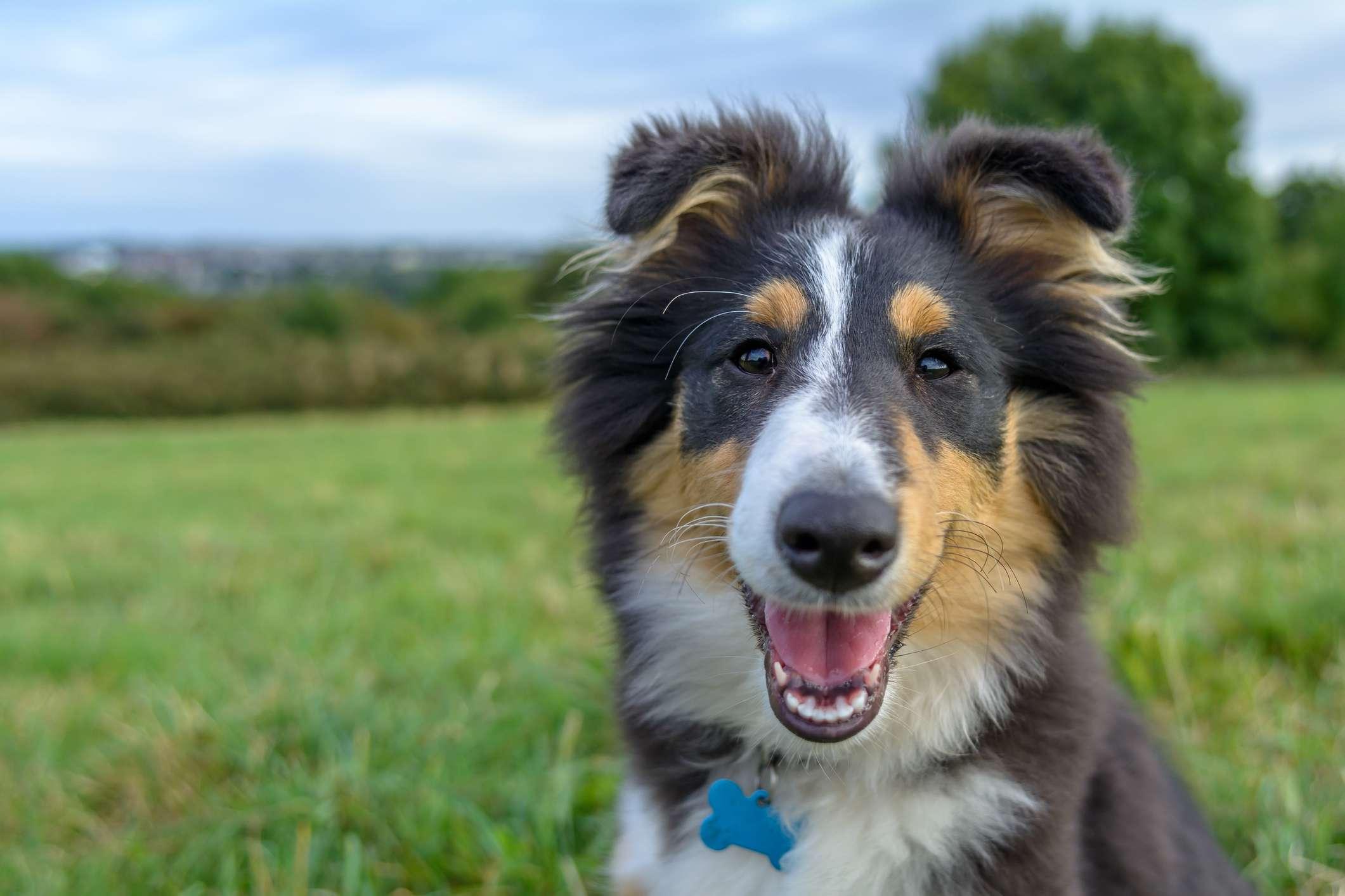 Neck-up shot of Shetland sheepdog