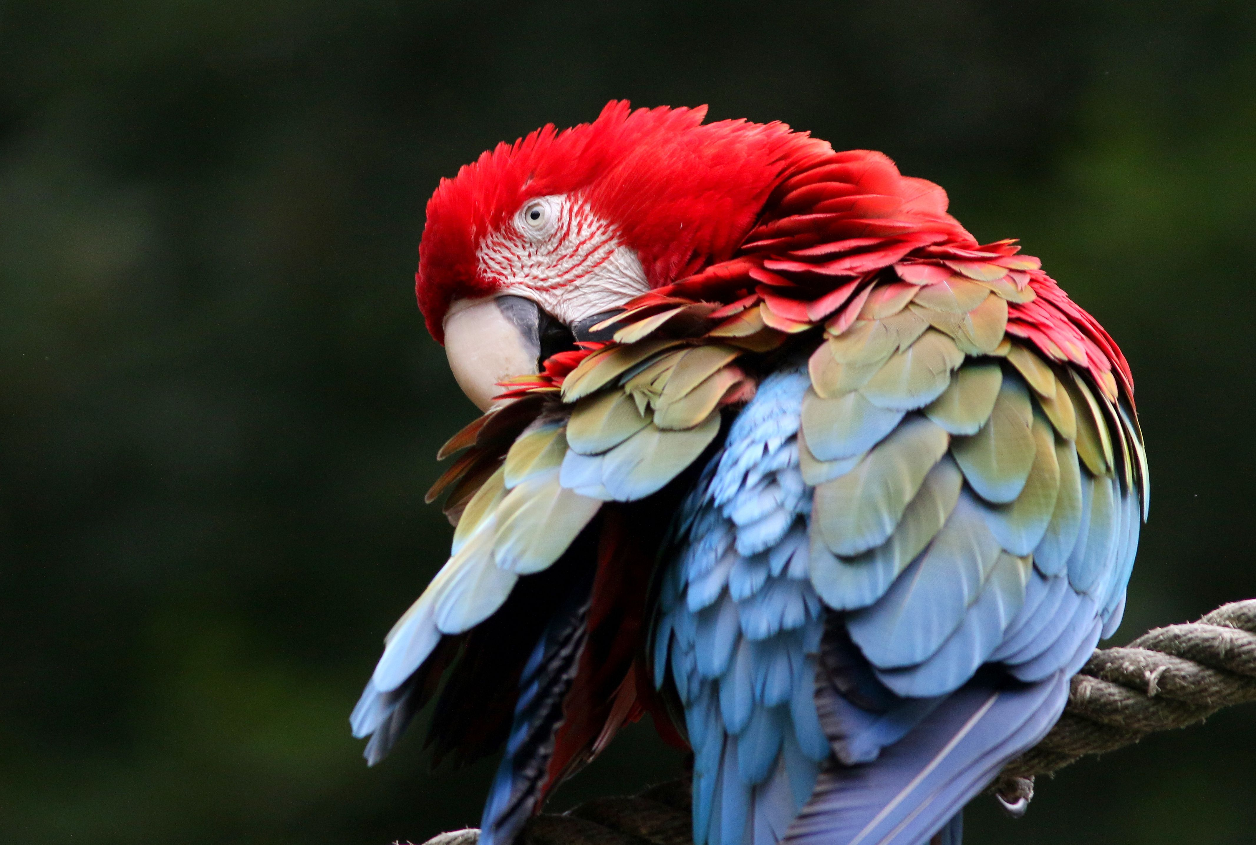 Red and green macaw preening.