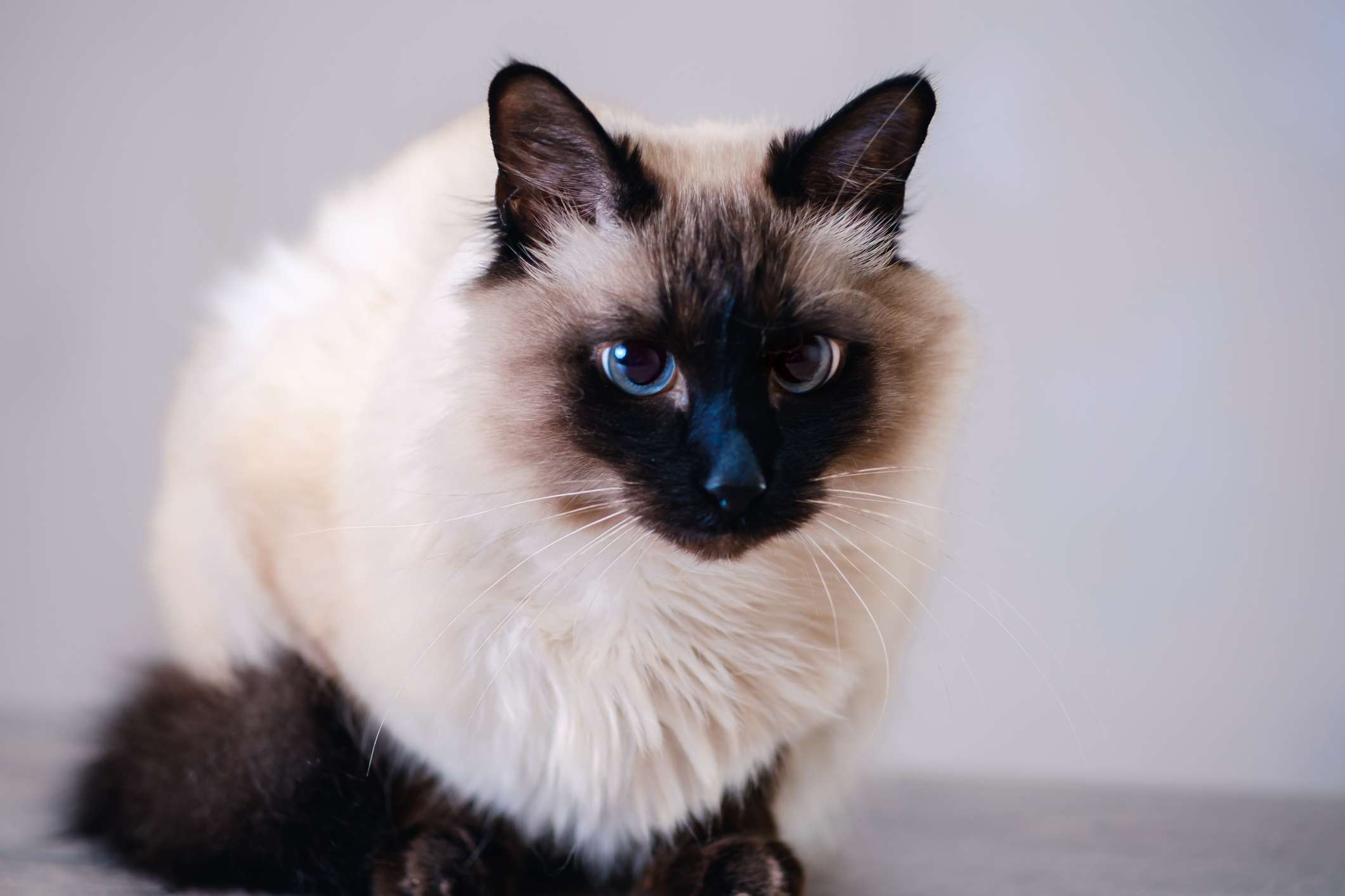Balinese cat breed portrait