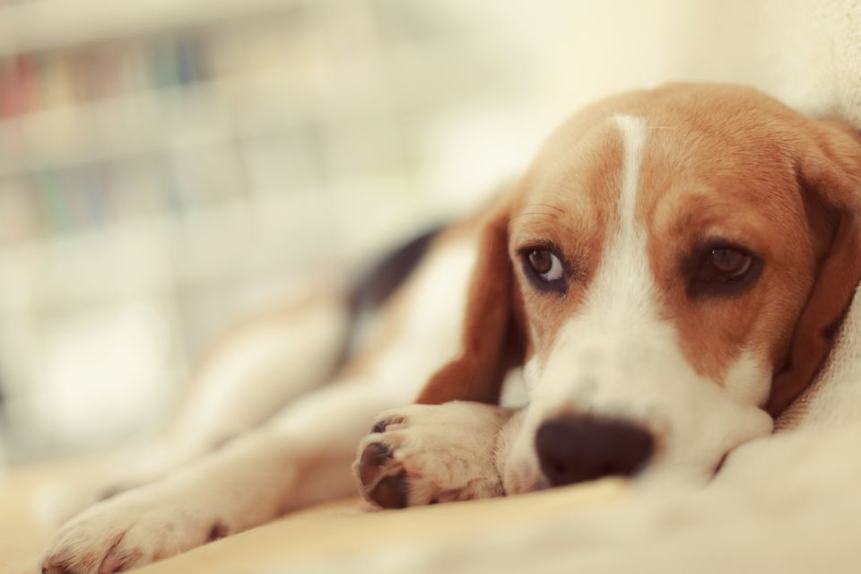 beagle lying down looking sad