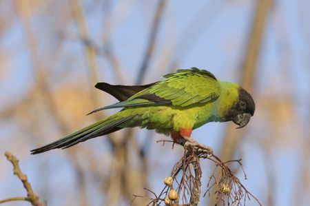 Nanday Conure Bird Species Profile