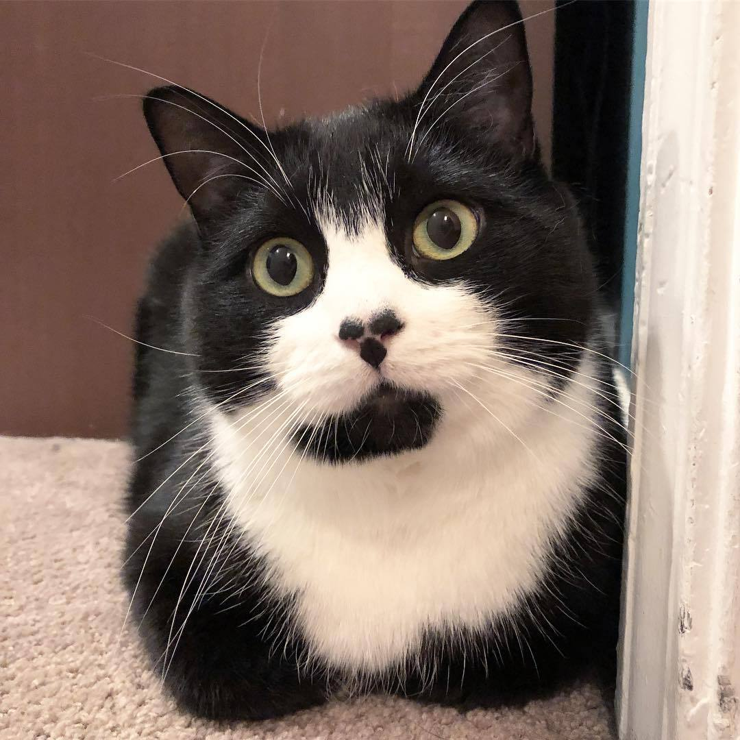 Tuxedo cat with three spots on its nose